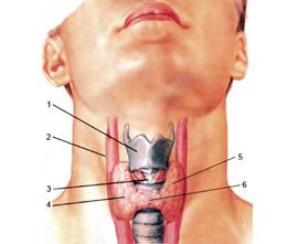 Кровоснабжение щитовидки